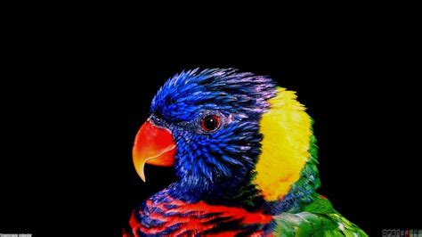 colorful parrot wallpaper very colorful parrot wallpaper 4444 open walls
