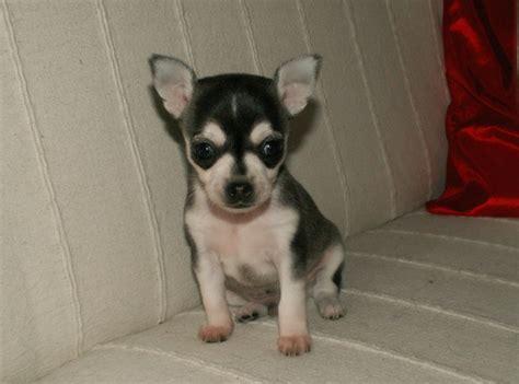 chihuahua husky mix puppies chihuahua chiwawa information upcomingcarshq