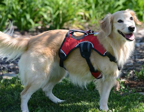 rescue golden retrievers from taiwan from taiwan with homeward bound