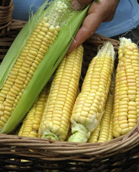 backyard corn grow sweet corn in your own backyard toronto star