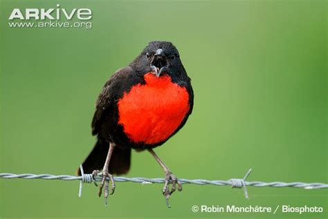 red breasted blackbird videos photos and facts