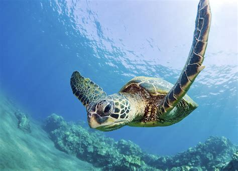 Marine Home Decor by Green Sea Turtle Maui Photograph By M Swiet Productions