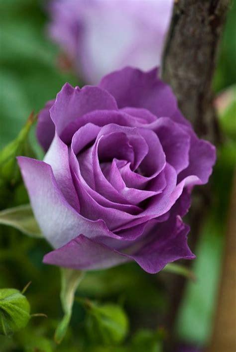 imagenes de rosas lilas muda de rosa lil 225 s r 25 00 em mercado livre