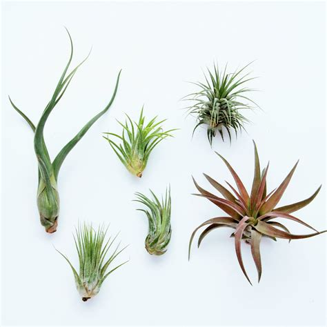 air plants 6 pack air plant air plant grab bag set of 6 plants
