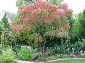 plantfiles pictures american smoketree chittamwood wild smoke tree yellow wood cotinus
