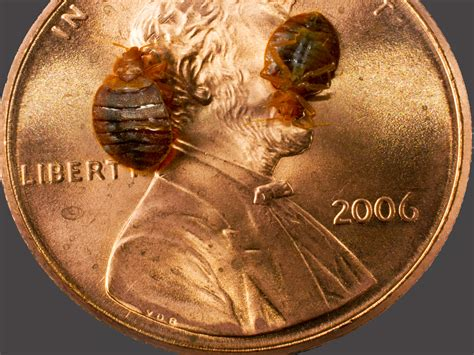 bed bug images pictures where do bed bugs come from identify bed bugs info