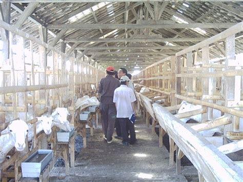 Bibit Kambing Untuk Penggemukan area peternakan teknik penggemukan kambing domba