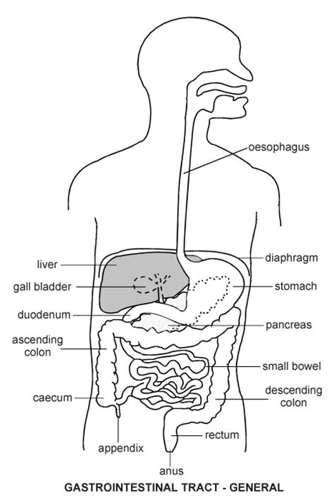digestive tract diagram gastro intestinal tract diagram patient co uk