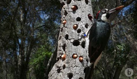 the anomalies the acorn woodpecker the kid should see this