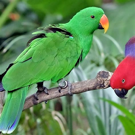 eclectus parrots for sale in melbourne amazing amazon