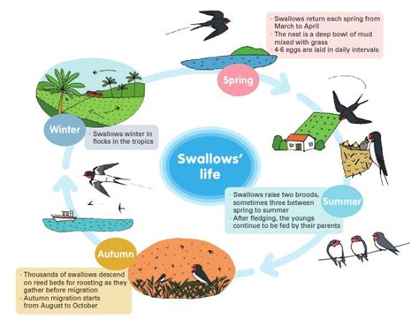 spring alive for swallows this spring surfbirds