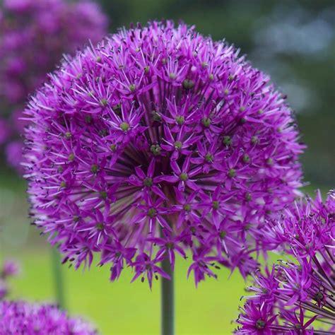 longfield gardens allium purple sensation bulbs 100 pack