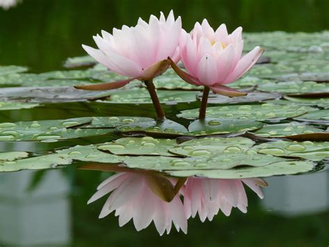 flowers for flower lovers water lilly flowers