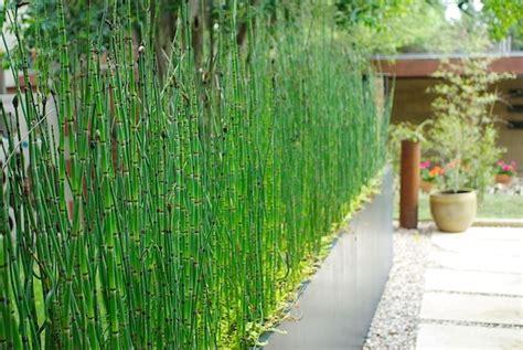 siepe in vaso piante da siepe in vaso piante grasse siepe in vaso