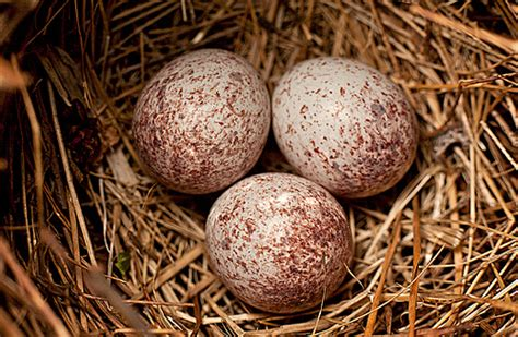 when do cardinals lay eggs cardinal eggs flickr photo