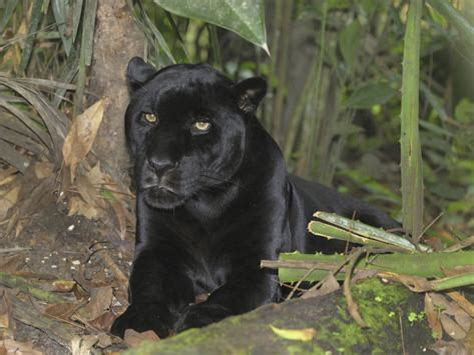 all black jaguar black jaguar or panther panthera onca belize