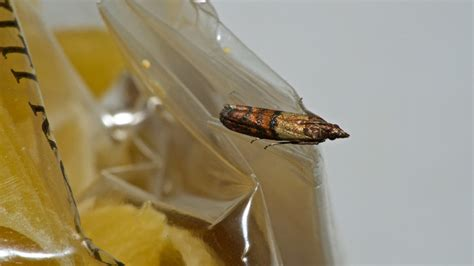 how to get rid of pantry moths kitchen pest made
