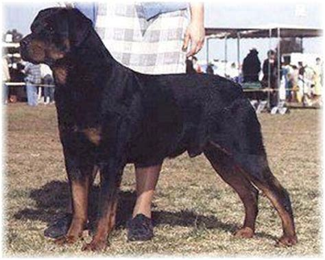 rottweiler rescue northern ca german rottweiler kennels in california photo