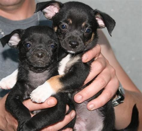 black chihuahua puppies puppy dogs black chihuahua puppies