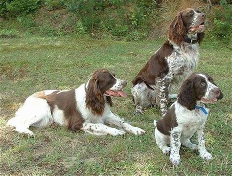french setter dog breed french spaniel dog breed information and pictures