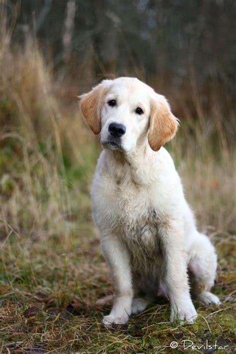 3 months golden retriever fredy four months golden retriever puppy flickr