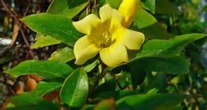 carolina flower south carolina state flower the yellow jessamine