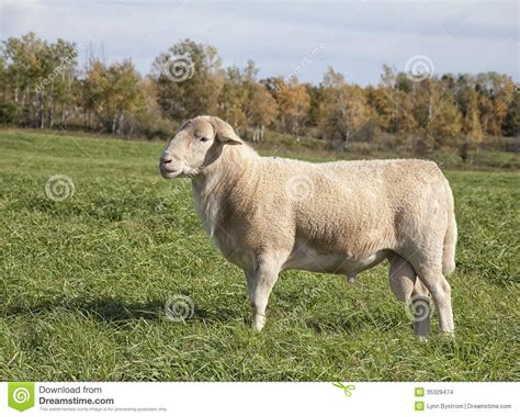 Images Of A Ram