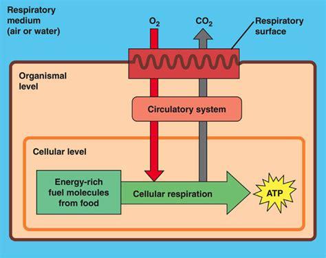 gas exchange across respiratory surfaces boundless biology biol 1202 spring 2012 final exam flashcards biology 1202