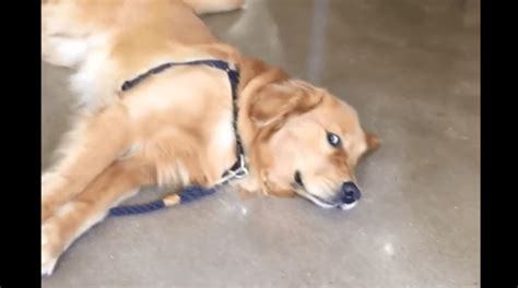 golden retriever pet store golden retriever refuses to leave pet store throws precious tantrum