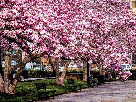 jane magnolia tree  sale   tree center