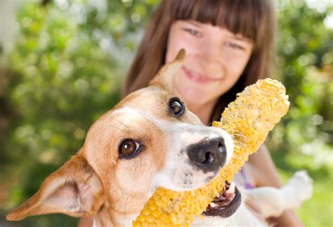 can dogs eat corn on the cob vets now
