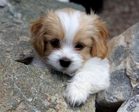 best 25 small dogs ideas on pinterest cute small dogs small puppies and cutest small dogs