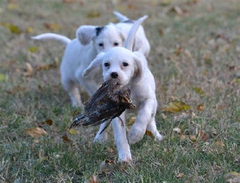 english setter gun dog breeders female english setter puppies field bred