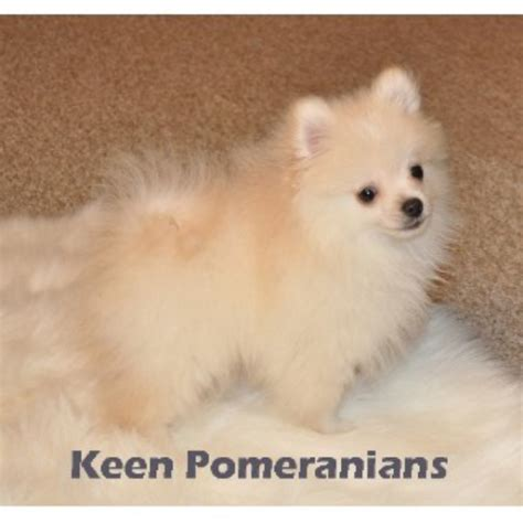pomeranian puppies in alabama keen pomeranians pomeranian breeder in huntsville alabama listing id 21713