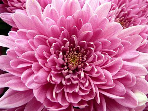 image gallery nasa chrysanthemum air chrysanthemum chrysantheium morifolium 15 houseplants
