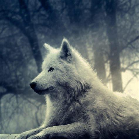 wolf  ipad wallpapers  hd wallpaperscom