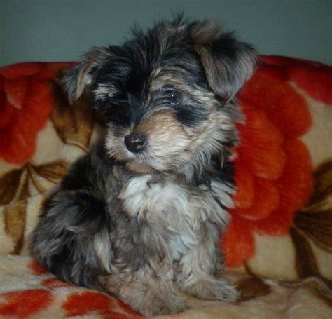 yorkies for sale in kent tri colour yorkies for sale orpington kent pets4homes