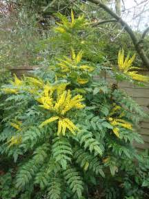 Mahonia japonica two chances veg plot blog