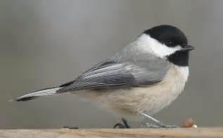 ohio bird photo collection carolina chickadee