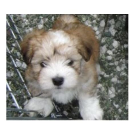 havanese breeder california havanese breeders in california freedoglistings breeds picture