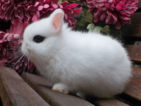 what breed rabbit breed identification