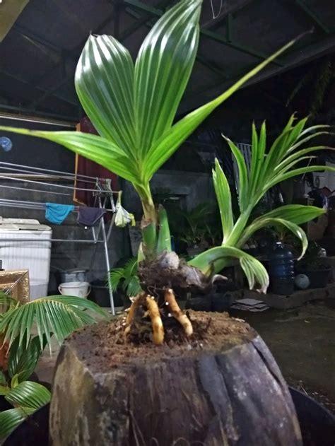 jual bonsai kelapa bercabang   lapak mozzle craft
