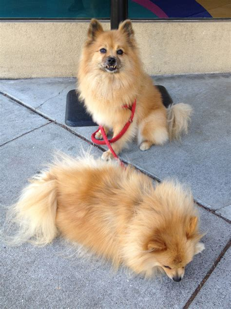 why is my pomeranian not fluffy hi i am a vicious if you do not pet me and my friend here i will totally be