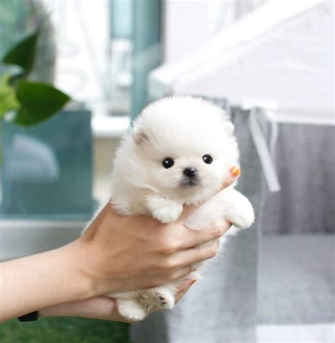 white teacup puppies micro teacup lil white pom sabrina sold to jose boutique teacup puppies