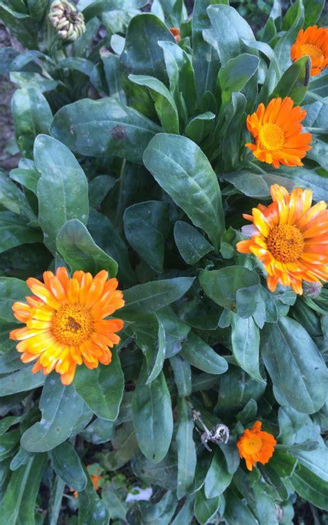 fiore calendula calendula amici in fiore