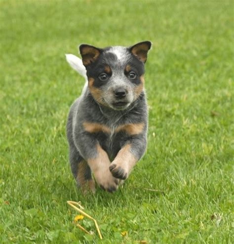 blue heeler dogs queensland blue heeler pit bull mix breeds picture