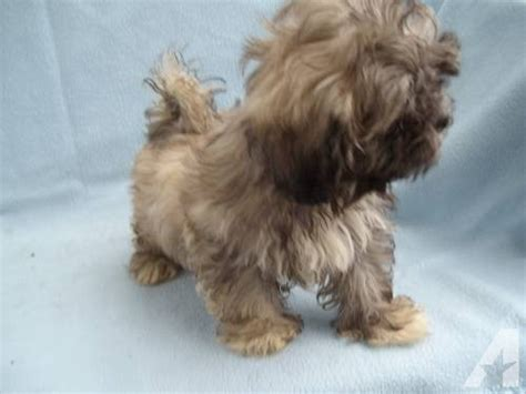 liver shih tzu for sale liver shih tzu puppy for sale in eloise florida classified americanlisted
