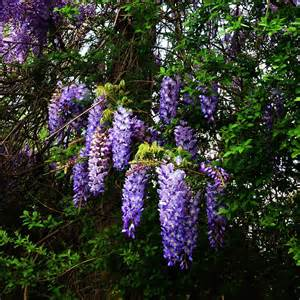 Wisteria Meaning | the meaning of wisteria the accidental peach