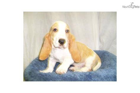 basset hound puppies ny meet lucky a basset hound puppy for sale for 419 basset hound nj ny ct md