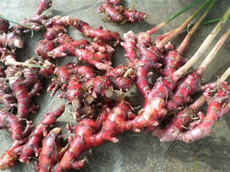 Benih Sengon Per Kg cara menanam dan budidaya jahe merah dalam karung atau polybag ragam informasi